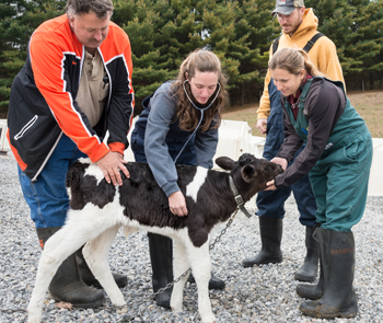 group of people working with a young calf.